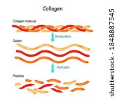 collagen hydrolysis and... | Shutterstock .eps vector #1848887545