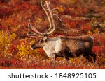Curious Barrenland Caribou bull walks on the colourful arctic tundra in Canada