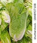 Romaine Or Cos Lettuce Is A...