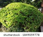 Reynoutria Japonica Or Fallopia ...