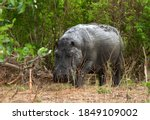 Small photo of A large bull hippo wanders from one over-crowded mud wallow to seek fresh habitat. When the wallows become congested hippos will wander long distances in day light looking for less congested ones