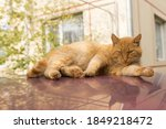Ginger Cat Lies On The Roof Of...