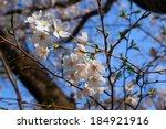 Yoshino Cherry Blossom In Full...