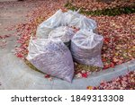 Clear Bags Of Fall Leaves With...