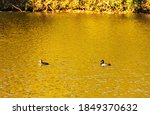 Ring Necked Ducks Paddling On ...