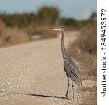 Great Blue Heron Crossing The...