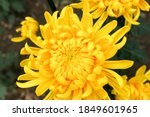 Big Yellow Chrysanthemum Flower ...