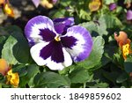 Purple And White Winter Pansy...
