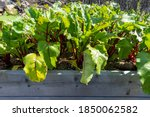A Bunch Of Swiss Chard And...