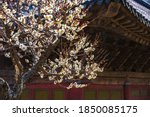 White Plum Flowers In The...