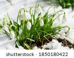 Close Uo Of Snowdrop Flowers...