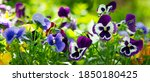 colorful pansy flowers in a...