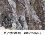 Phalacrocorax Gaimardi Is A Re...