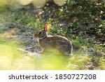 An Eastern Cottontail Sitting...