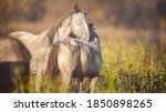 Wild Horses grooming each other in the meadows of the Ozark Mountains of Missouri near Eminence
