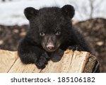 American Black Bear Cub...