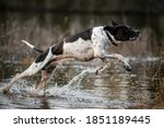 Dog English Pointer Jumping...