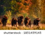 Bison Herd In The Autumn Forest ...