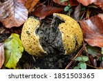Common Puffball Mushroom...