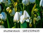 White Loddon Lily Summer...