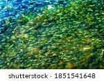 Menhaden Pogy Fish Swarm School Padanaram Harbor Buzzards Bay Dartmouth Massachusetts. Millions of Pogy Fish Swarm Together Next to Padanaram Bridge