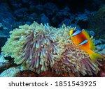 Red Sea Anemonefish  Fury Shoal ...