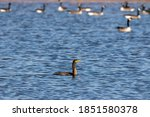 Double Crested Cormorant On The ...