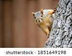 A Fox Squirrel Peeking Around A ...