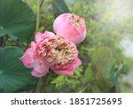 Nelumbo  Water Lily  Lotus ...