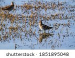 Snipe Bird Marsh Lakes And...