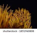 Orange Yellow Southern Silky...