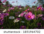 Focus On A Pink Cosmos Flower...