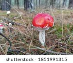 The Red Beauty Of Toadstools