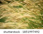 Rural Reeds Grass With...
