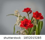 Blooming Red Hippeastrum ...