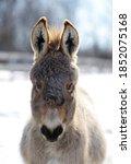 Miniature Donkey Portrait In...