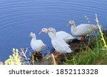 Domestic Duck  Anas...