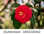 red camellia  green leaves ... | Shutterstock . vector #1852220362