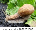 Small Garden Snail In Shell...