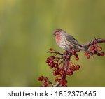 Male House Finch Feeding On Re...