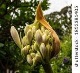 White Agapanthus Flower...