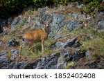 Blacktailed Deer Buck With...