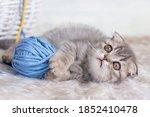 Pet Animal  Cute Scottish Fold...
