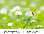 White Clover Flowers Blooming...