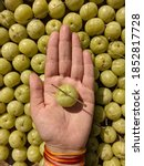 Small photo of Hand holding amla / indian gooseberry with amla / indian gooseberry spread all around in the background