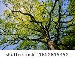 Oak Tree  Quercus  With Many...