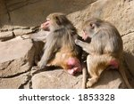 Two Baboons Involved In Grooming