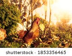 Rooster In The Garden On A...