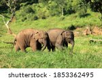 Asian Elephant  Twin  Young...