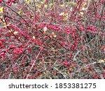 Close Up Of Thornbush Berries...